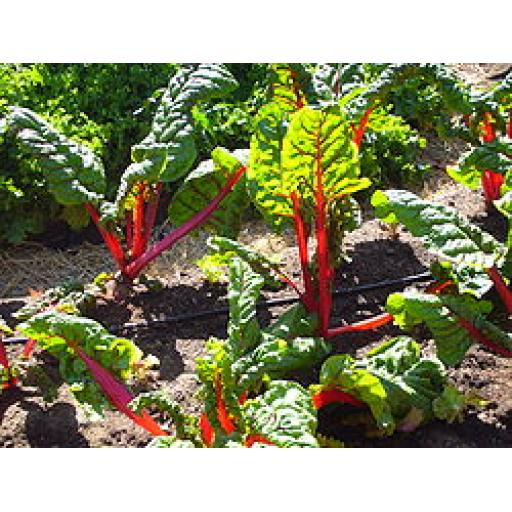 Chard - Assorted colours - 250g