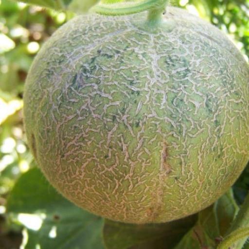 Melon, Cantaloupe - Individual