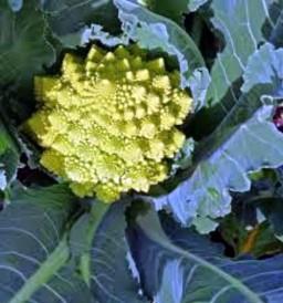 cauliflower-romanesco-individual-933-p.jpeg