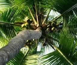coconut-individual-1357-p.jpg
