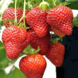 strawberries-250g-551-p.jpeg