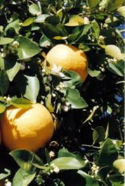 pink-grapefruit-504-p.jpeg