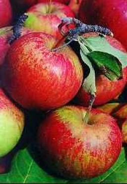 apples-jonagold-450-500g-1304-p.jpg