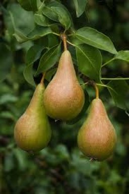 pears-conferrence-large-500g-543-p.jpg