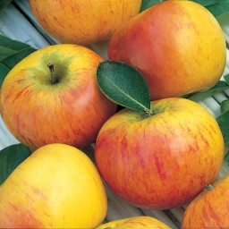 apples-cox-royale-450-500g-1305-p.jpg