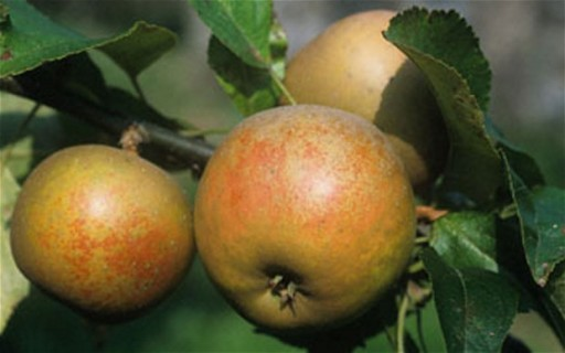 apples-russet-trinity-farm-450-500g-1306-p.jpg