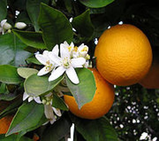 oranges-500g-380-p.jpg