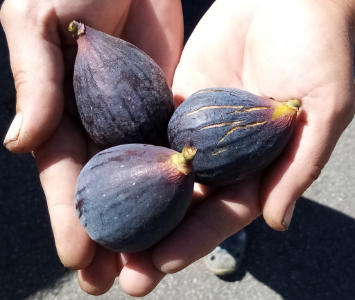 Figs.png