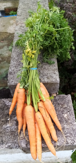 Bunched Carrots.png