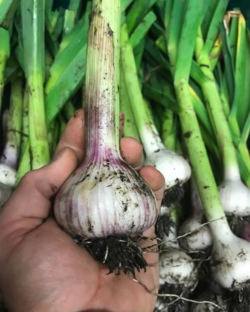 fresh garlic.jpg