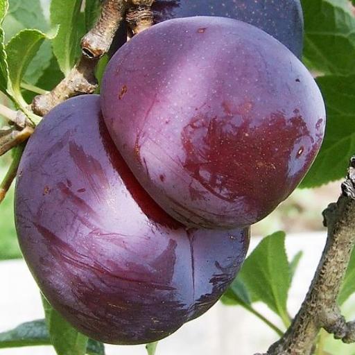 black plum.png