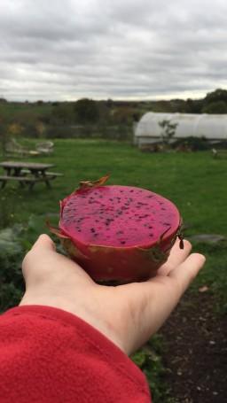 Dragonfruit in hand.jpg
