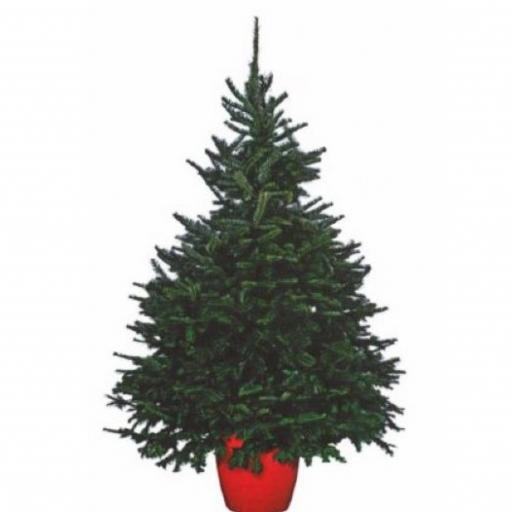 Christmas Tree Fraser- Pot Grown - 150-175cm