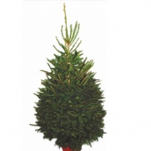 Christmas Tree Spruce - Pot Grown