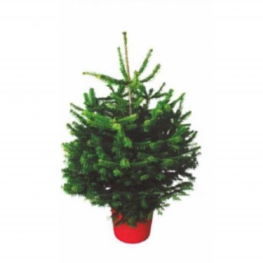 Christmas Tree Nordmann - Pot Grown - 150-175cm.
