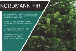 Nordman Fir 2.jpg